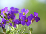 purple aubretia - 1942845