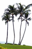 coconut trees on a beach poster
