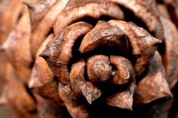 pine cone close up from above