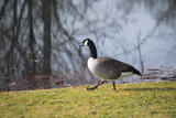 goose on guard poster