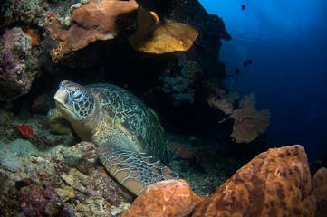 giant turtle on reef indonesia sulawesi