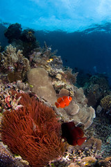 anemone fishes indonesia sulawesi