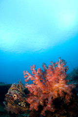 soft coral reefscape indonesia sulawesi