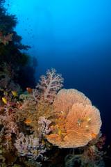 gorgonia coral philippines