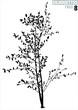 tree silhouette 08