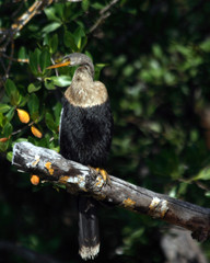 anhinga in tree