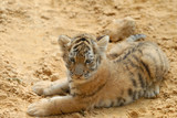 tiger-cub lays on sand. poster
