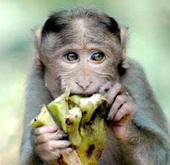 monkey eating something in india