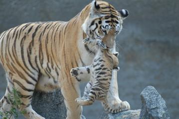 tigress hides cub.