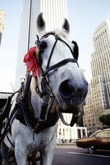 central park carriage horse
