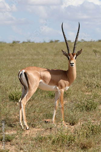 Plexiglas Antilope grant gazelle