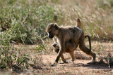 baboon siblings