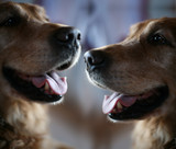 two dog golden retriever poster