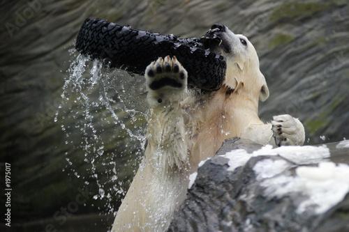 In de dag Ijsbeer polar bear, ursus maritimus