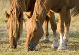horses grazing poster