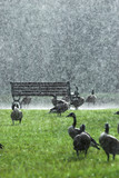 geese in a downpour poster