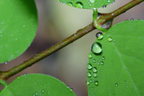 water droplets on a leaf poster