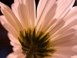 behind a daisy