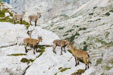 group of wild ibex in julian alps in slovenia