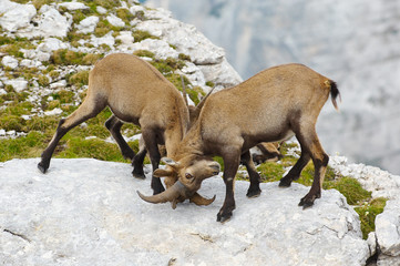 two young ibex fighting
