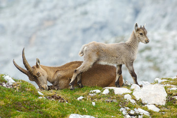 mother ibex and young ibex resting
