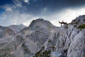 two male ibex standing on rocky ridge in julian al