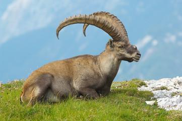 old ibex resting in slovenian julian alps