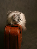 cat on a suitcase poster