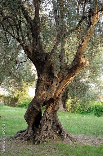 Tuinposter Olijfboom vieil olivier