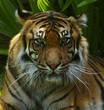 Quadro tigress watching.