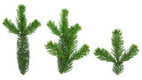 design elements - isolated spruce twigs xxl image poster