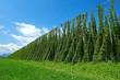 hop plantation