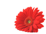 red gerbera lying on white copyspace poster