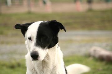 le chien corsaire