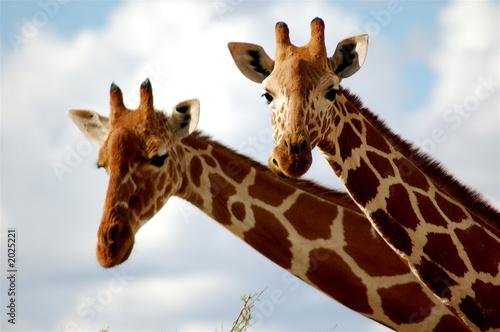 Fotobehang Giraffe giraffe in samburu national reserve, kenya