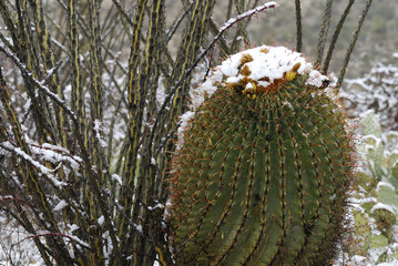 arizona barrel cactus in snow