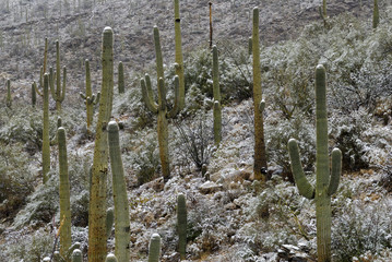 saguaro cactus in snow