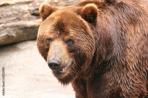portrait a brown bear