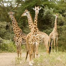 girafe massaï