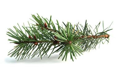 pine needles4