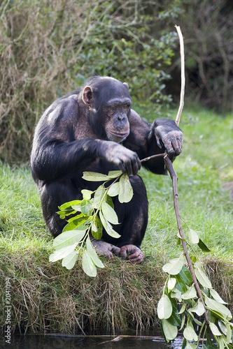 Foto op Canvas Aap chimp