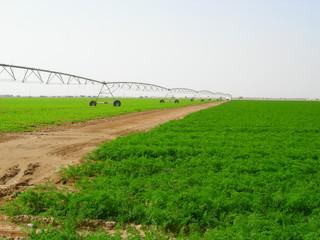 carrot farm