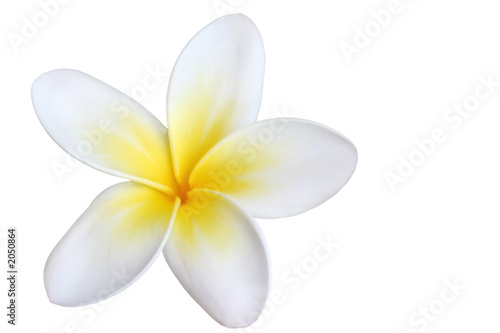 Deurstickers Frangipani frangipani, isolated