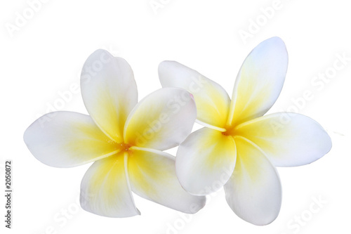 Foto op Canvas Frangipani two isolated frangipanis