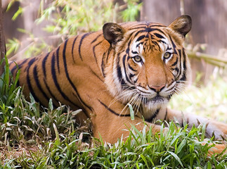 malayan tiger also known as phantera tigir jackson