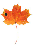 maple leaf with holes and spots poster