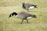 goose gathering poster