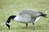 goose grazing poster