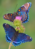 red-spotted purple butterflies poster