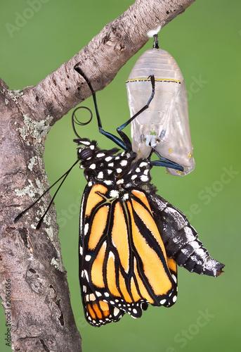 Deurstickers Vlinder monarch emerging